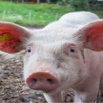 It's a pigs life: Study reveals swine intelligence