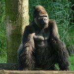 The Gorilla dance