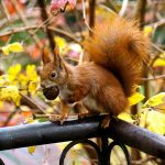 Acorn't believe it! Red squirrel population stable in North East