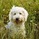 """""""My life regret"""": creator of the first labradoodle speaks out"""