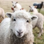 Are ethical meats really humane?