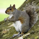 Experts consider 'contraceptive pills' for grey squirrel population