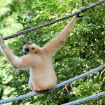 Rope bridge to reconnect trees for critically endangered gibbons