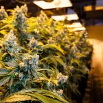 £1.5mill worth cannabis farms found in Wearside