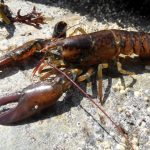 Lobsters changing their genes to survive climate change