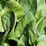 'Unbeleafable' new nanotechnology allows spinach to send emails