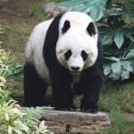 Wildlife Pandamonium
