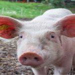 It's a pigs life: Study reveals swine intelligence