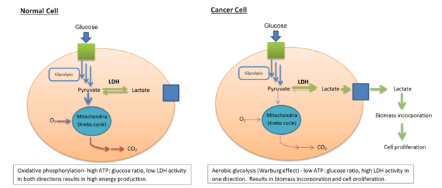 How the Warburg Effect leads to cancerous cell proliferation. Image: Bcndoye [CC BY-SA 3.0], via Wikimedia Commons