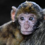 Chinese scientists clone monkeys in world first