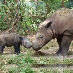 Malaysia's last Sumatran rhino no more