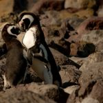 Egg-pilfering penguin couple strike again
