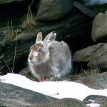 Hare today, gone tomorrow: Peak District mountain hares face extinction