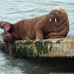 Where's Wally? Arctic walrus takes up residence in Wales after epic sea trip
